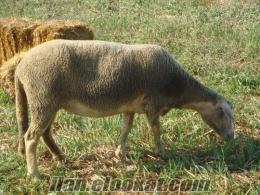 Lacaune 3 koyun 1 koç