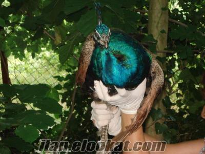 Sakarya da 1 yaşında mavi Tavus Kuşları (Erkek)