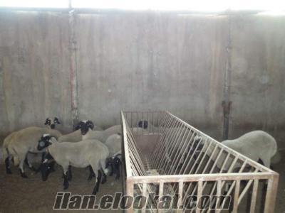 satılık sakız koç ve gebe koyunlar
