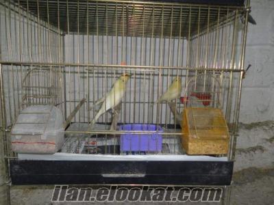izmir bucadan satılık sarı mozaik kanarya yavruları.
