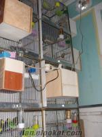 toptan satılık 20 çift muhabbet kuşu ve tüm kafesleri ve yavruluk suluk dahil