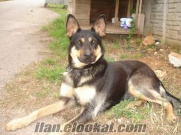 antalyada belçika kurt köpeği
