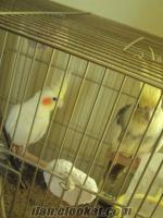 Kırklareli/Lüleburgaz dan satılık çift sultan papağanı