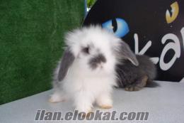 sahibinden satılık hollanda lop tavşanı