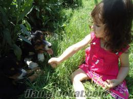 Beykoz cumhuriyet köyü 2.5 aylık yavru erkek kopay