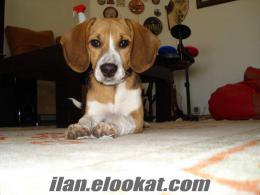 5 aylık Beagle yavru sahibinden son derece sağlıklı