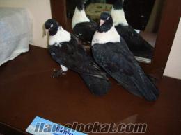 kara bozalı Güvercin