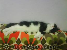 sevimli uslu evcil kedi