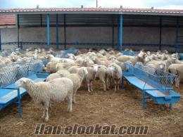 eskişehirde sahibinden satılık merinos koyunlar