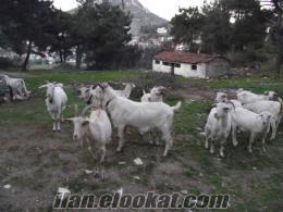 Bornovada zana keçisi