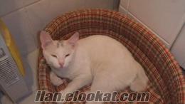 ankarada sahibinden beyaz anakara kedisi