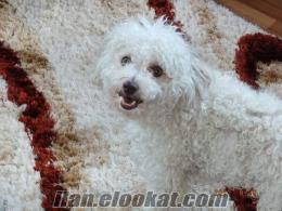 Kaniş Terrier Çok Sevimli Köpek Tarçın