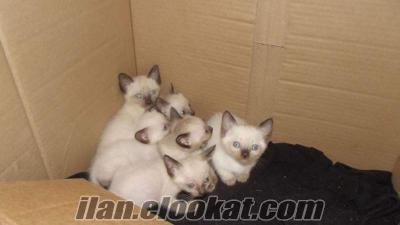 Saf Siyam Kedi yavruları, sahibinden.