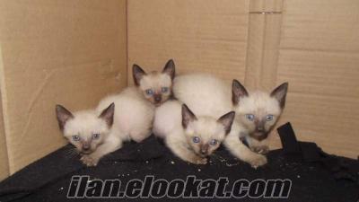 siyam kedi yavruları