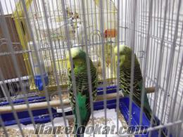 jumbo muhabbet kuşu çift