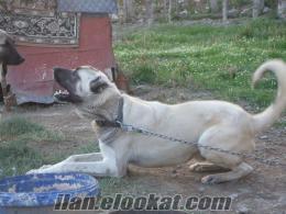 satlık köpek malaklı cinsi aksaray dövüş kangalı