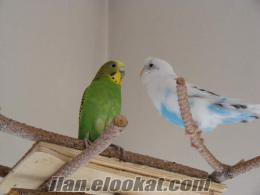 Ankarada satlık muhabbet kuşu