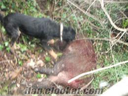 Ayvacıkda satılık domuzcu