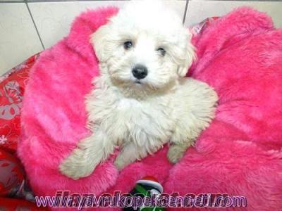 satlık maltese terrier yavrularım