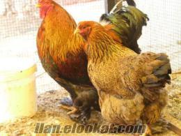 Süper aşılı ve sağlıklı süs tavuğu yumurtaları