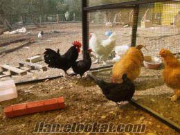 süs tavuğu yumurtalarında kampanya