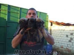 italyan mastiff yavrulari cane corso