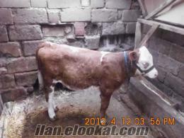 1adet simental inek birinci 3aylık buzağı ile satılık