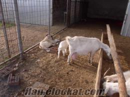 satılık saanen keçisi