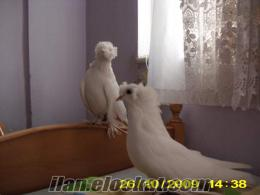 somada sahibinden satılık süs güvercinleri