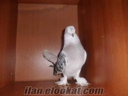 taklacı oyunlu güvercinler güvercinler