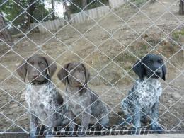 satılık kurzhaar yavruları