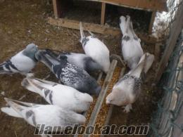 satılık güvercin MUAYYER DAMAR KUŞLAR