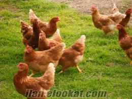 tavuk keklik bıldırcın