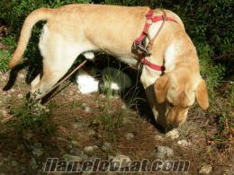 1 yaşında erkek labradoruma dişi labrador arıyorum