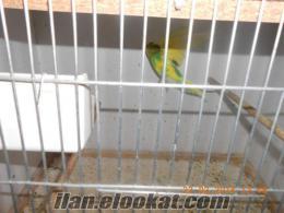 bursadan saqhibinden satılık muhabbet kuşları ve üretim hanesi