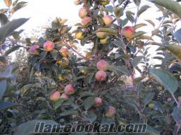 satılık elma golden, gala red chief, fuji, broben