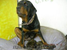 Kangal baba-Rodvaydır anneden olma yavru köpek