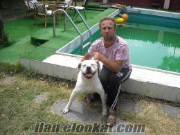 A kalitede ırk garantili american bulldog yavruları