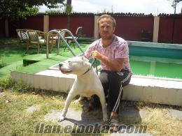 A kalitede ırk garantili orjinal veteriner gözetimi altında american bulldog yav