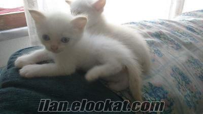 mavi gözlü pamuk beyazı yavrular