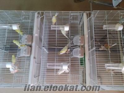 Van Kanarya üreticiden satılık uygun fiyata