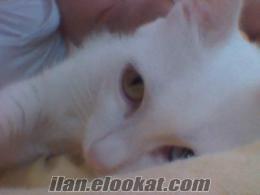 antalyadan ücretsiz van kedisi