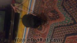 tokatta sahibinden satılık rodwayder 1 aylık yavru kopekler