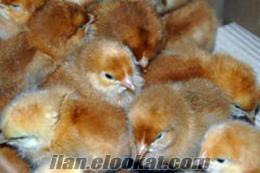 etlik hindiler tavuk civcivleri pekin ördekleri