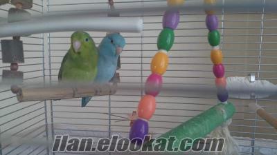 Evcilleştirilebilir Forpus Çift Papağan