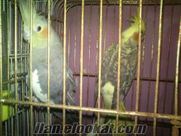 ACİLL çift sultan papaganı damızlık takas olur...tek tek satılır...