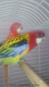 Çift rozella papağanımı zor durumda kaldığım için satıyorum.