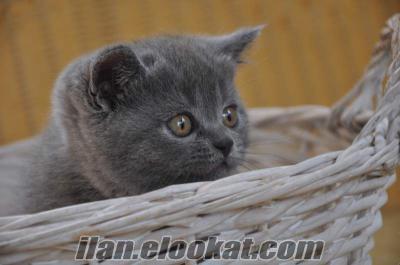 Sahibinden British shorthair yavru kedi