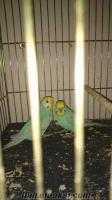 istanbul bağcılarda evimde kurduğum üretimden satılık kuşlar