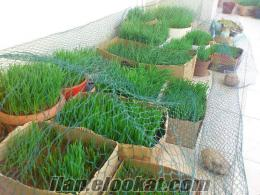 24 Kullanımlık Dondurulmuş buğday Çimi suyu
